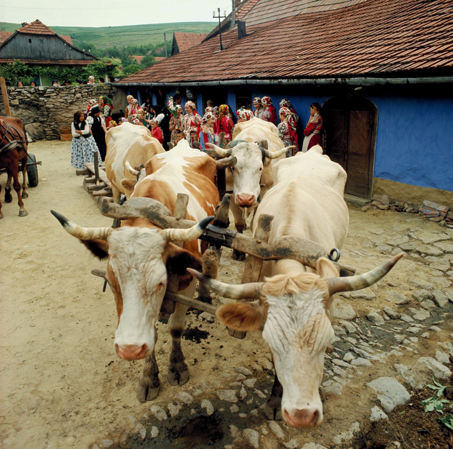 Péter Korniss: Wedding Slide with Oxen