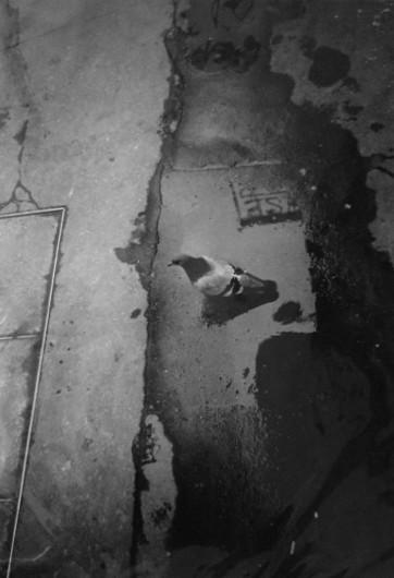 Rodolf Hervé: Galambok, galambok, kedves galambok…